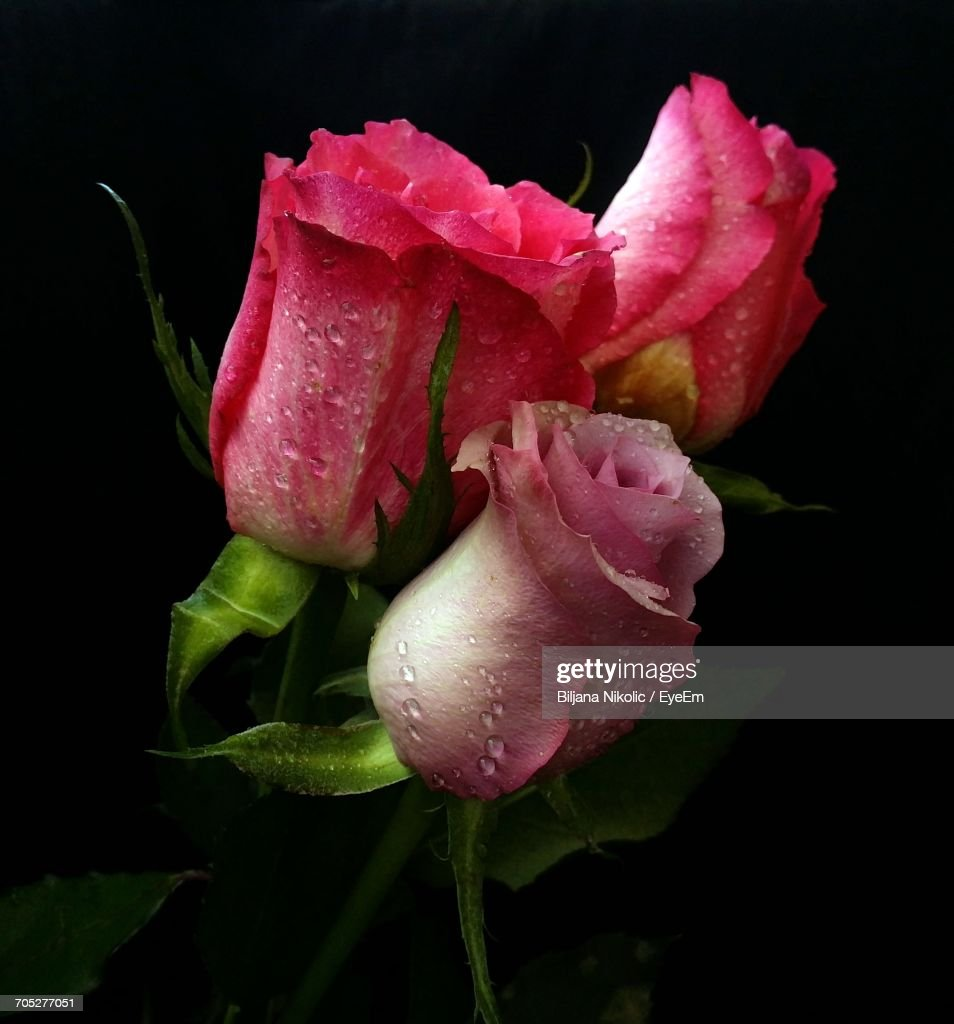Closeup Of Wet Pink Flower Against Black Background Stock Photo