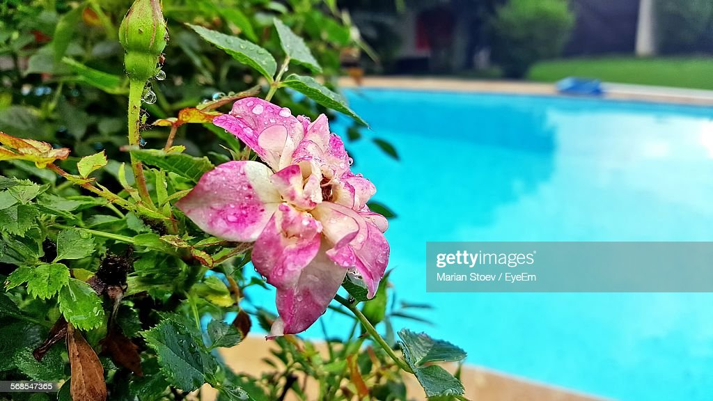 Close-Up Of Wet Pink Flower Against Swimming Pool : Stock Photo