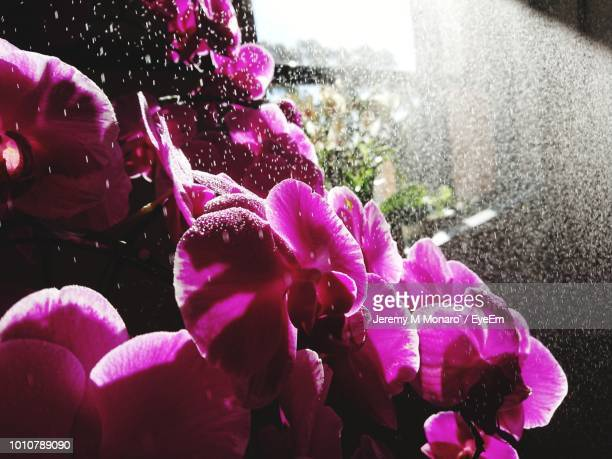 close-up of wet pink flowering plant - jeremy monaro stock pictures, royalty-free photos & images