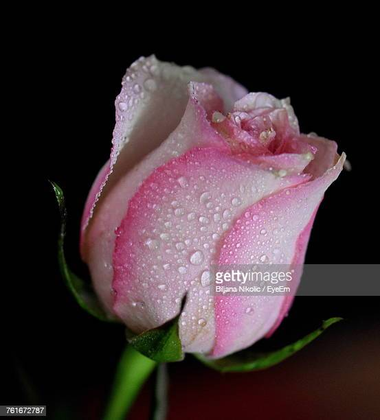 Close-Up Of Wet Pink Rose Blooming Against Black Background
