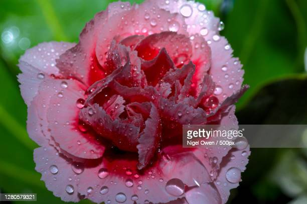 close-up of wet pink rose flower - nigel owen stock pictures, royalty-free photos & images