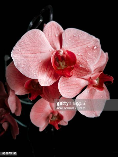 close-up of wet pink rose flower - orchid flower stock pictures, royalty-free photos & images