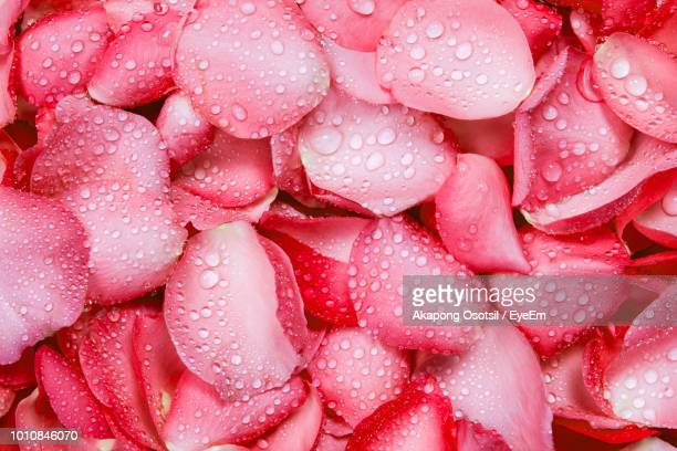 close-up of wet pink rose - pink flowers stock pictures, royalty-free photos & images