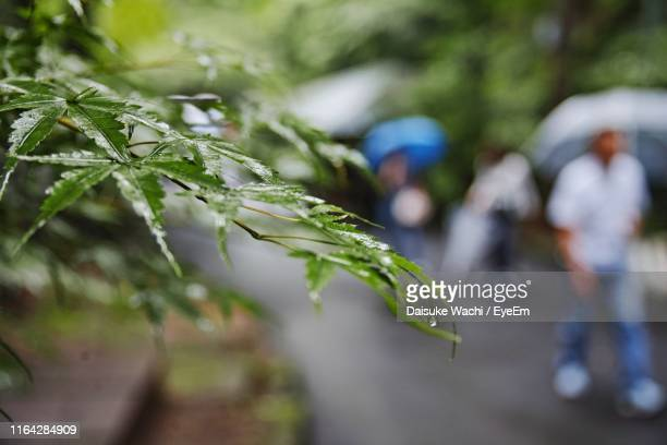 close-up of wet plant during rainy season - maebashi city stock photos and pictures