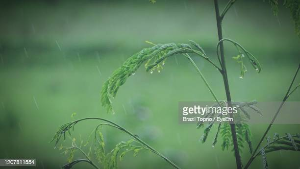 close-up of wet plant during rainy season - rainy season stock pictures, royalty-free photos & images