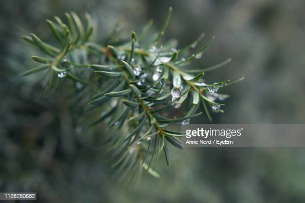close-up of wet plant growing outdoors - spruce tree stock pictures, royalty-free photos & images