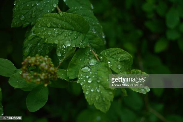 Close-Up Of Wet Plant Leaves During Rainy Season
