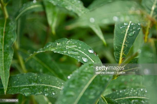 close-up of wet plant leaves during rainy season - eriksen stock pictures, royalty-free photos & images
