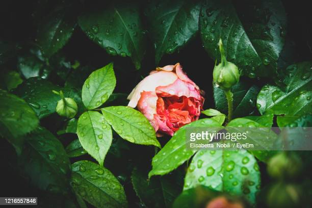 close-up of wet plant leaves - red roses garden stock pictures, royalty-free photos & images