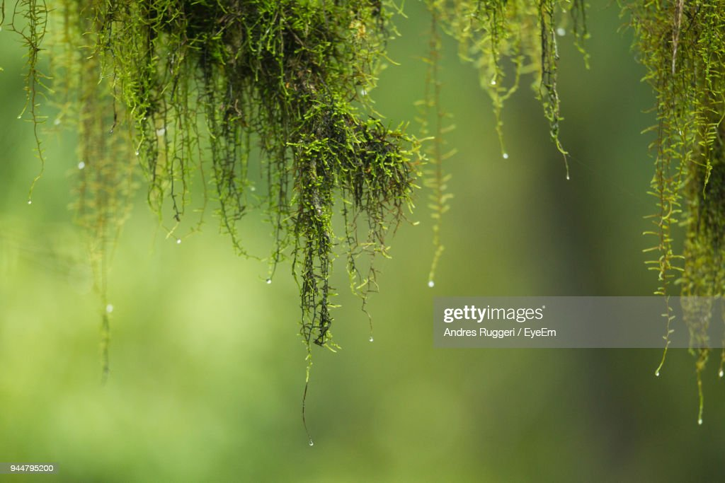 Close-Up Of Wet Plants Hanging : Stock Photo