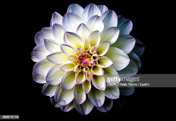 Close-Up Of Wet Purple Dahlia Against Black Background