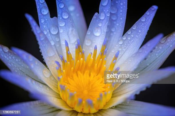 close-up of wet purple flower, chennai, tamil nadu, india - images stock pictures, royalty-free photos & images