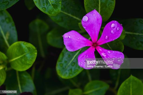 close-up of wet purple flower on rainy day - rainy season stock pictures, royalty-free photos & images