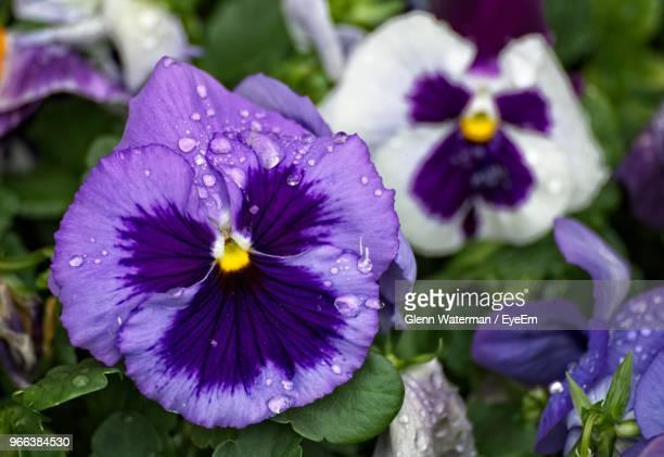 close-up of wet purple flowering plants - pansy stock pictures, royalty-free photos & images
