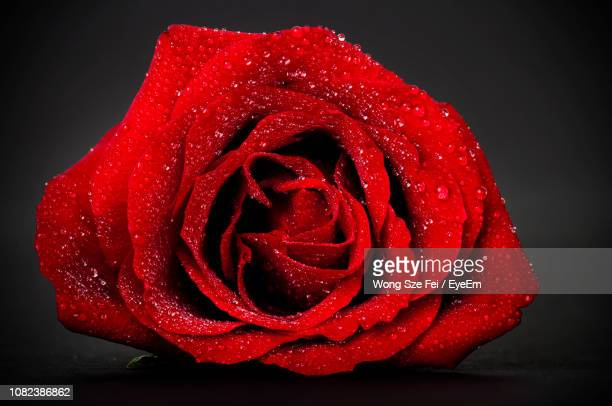 close-up of wet red rose against black background - black rose stock photos and pictures