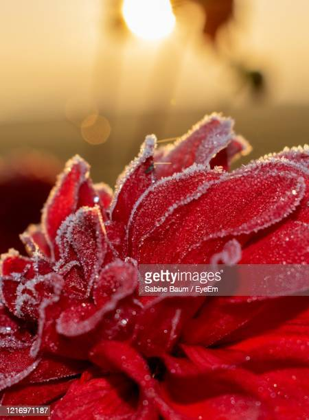 close-up of wet red rose flower - baum stock pictures, royalty-free photos & images