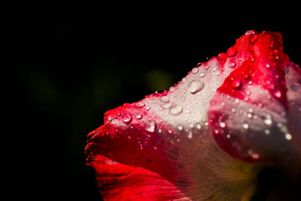 Close-up of wet red rose flower,Haskell,Texas,United States,USA