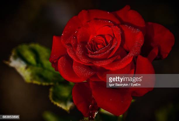 close-up of wet red rose - single rose stock photos and pictures