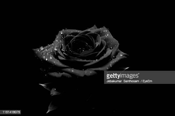 close-up of wet rose against black background - black rose stock pictures, royalty-free photos & images