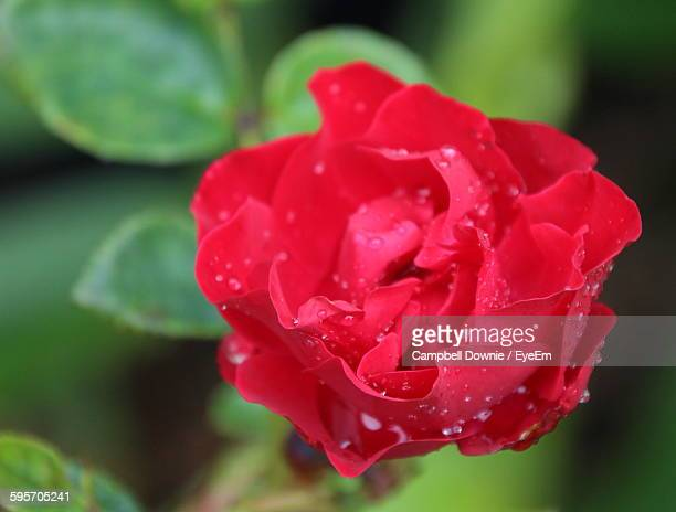 close-up of wet rose blooming outdoors - campbell downie stock pictures, royalty-free photos & images