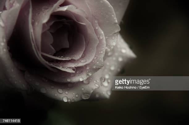Close-Up Of Wet Rose Blooming Outdoors
