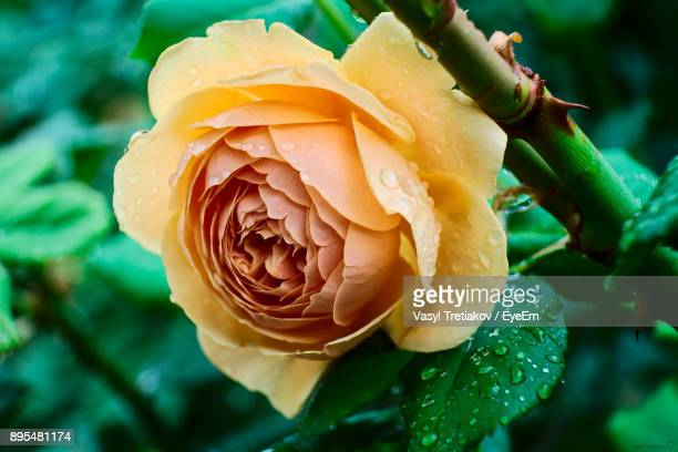 close-up of wet rose blooming outdoors - sofia rose stock photos and pictures