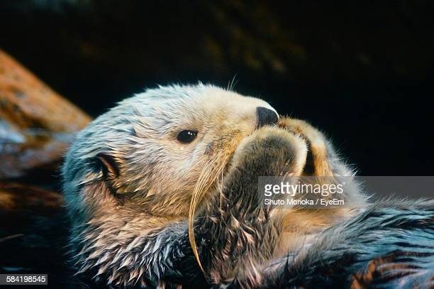 close-up of wet sea otter - sea otter stock photos and pictures