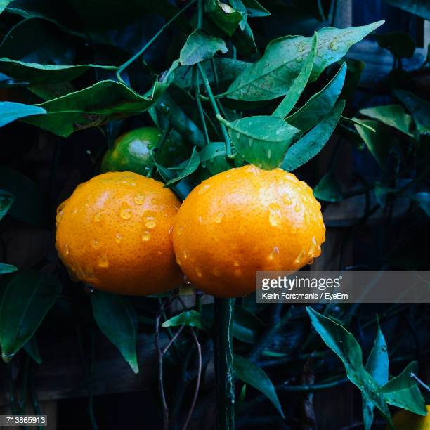 close-up of wet tangerines growing in tree - tangerine stock pictures, royalty-free photos & images