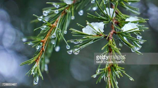 Close-Up Of Wet Tree During Winter