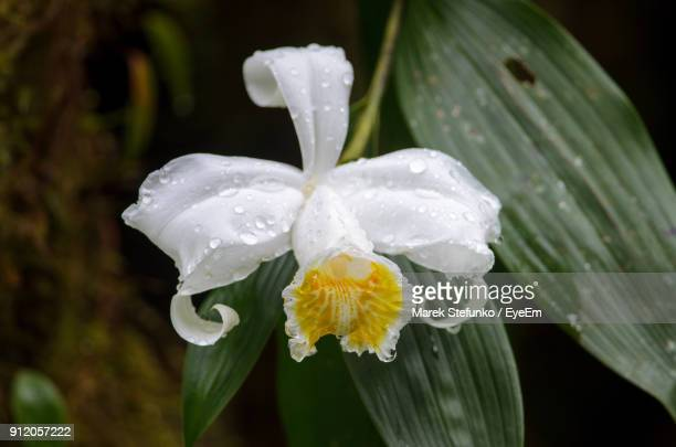 close-up of wet white flowers blooming outdoors - marek stefunko stock pictures, royalty-free photos & images