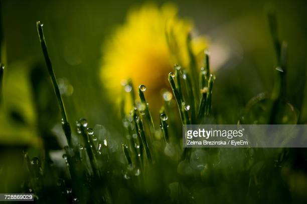close-up of wet yellow flower - brezinska stock pictures, royalty-free photos & images
