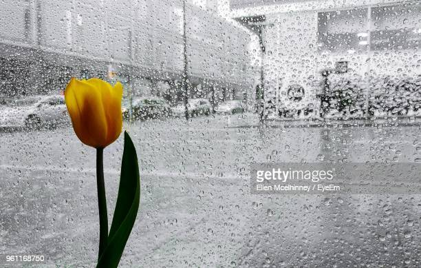 close-up of wet yellow tulip on rainy day - merseyside stock pictures, royalty-free photos & images