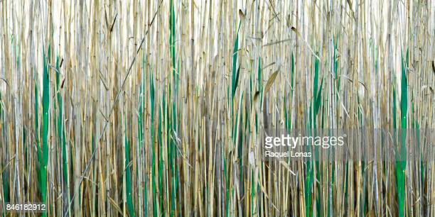 close-up of wetland grasses - bamboo plant stock photos and pictures