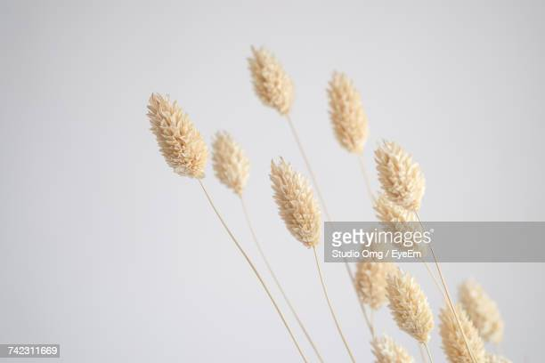 Close-Up Of Wheat Against Clear Sky