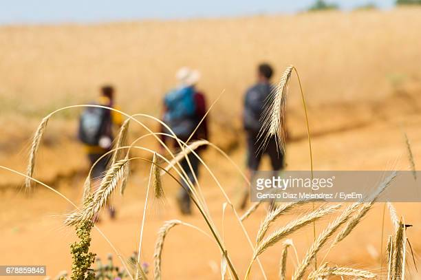 Close-Up Of Wheat Against Friends Walking On Field