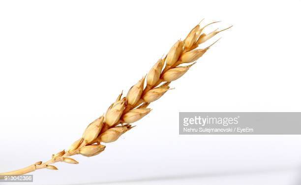 close-up of wheat against white background - wheat stock pictures, royalty-free photos & images
