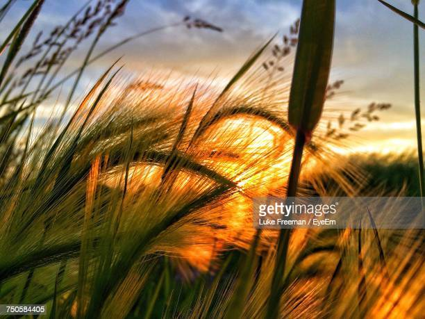 Close-Up Of Wheat At Sunset