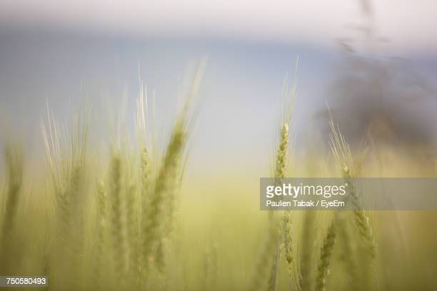 close-up of wheat crop - paulien tabak stock pictures, royalty-free photos & images