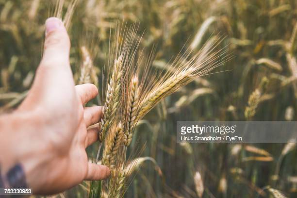 Close-Up Of Wheat Crops On Field