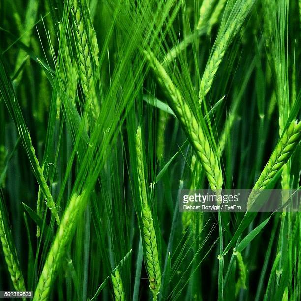 Close-Up Of Wheat Crops