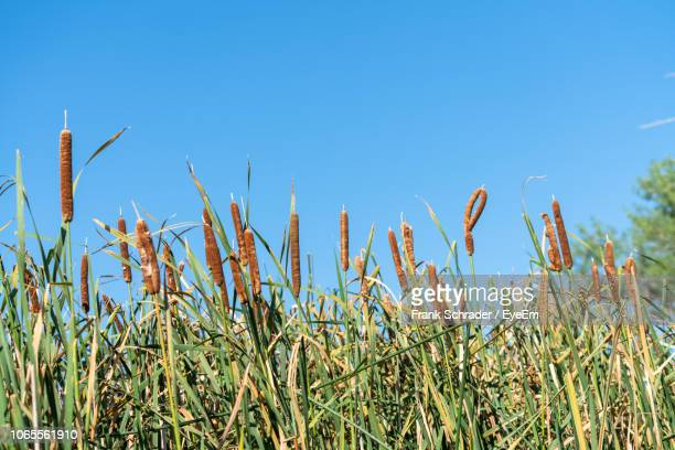 Close-Up Of Wheat Field Against Clear Blue Sky