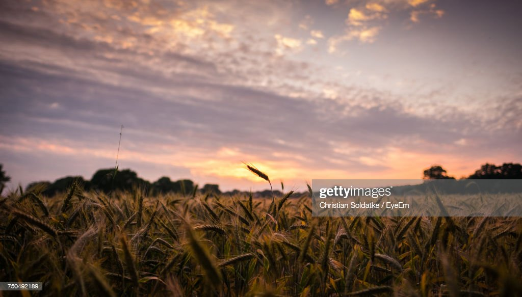 Close-Up Of Wheat Field Against Sky At Sunset : Stock-Foto