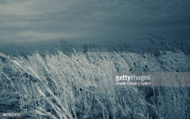 Close-Up Of Wheat Field Against Sky During Winter
