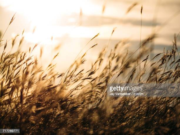 close-up of wheat field against sky - oklahoma - fotografias e filmes do acervo
