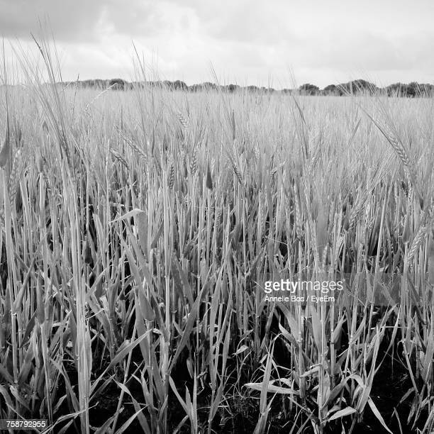close-up of wheat field against sky - hoogeveen stock pictures, royalty-free photos & images