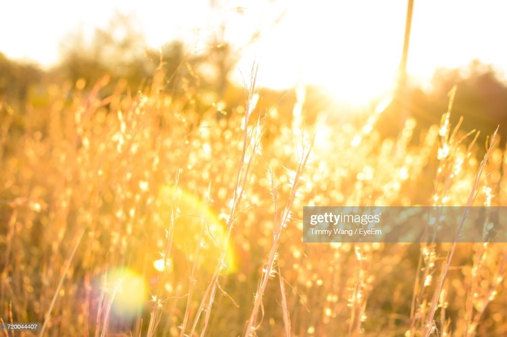 Close-Up Of Wheat Field At Sunset : Stock Photo