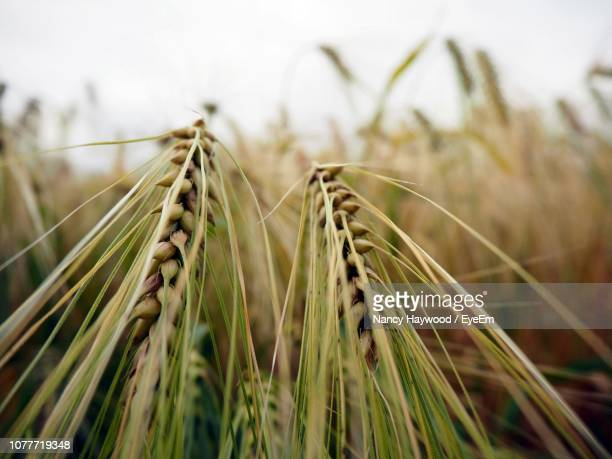 close-up of wheat field - rye grain stock pictures, royalty-free photos & images
