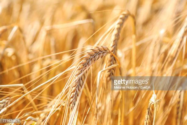 close-up of wheat field - rye stock photos and pictures