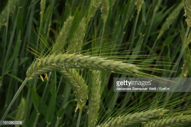 close-up of wheat growing at farm - weiß stock pictures, royalty-free photos & images
