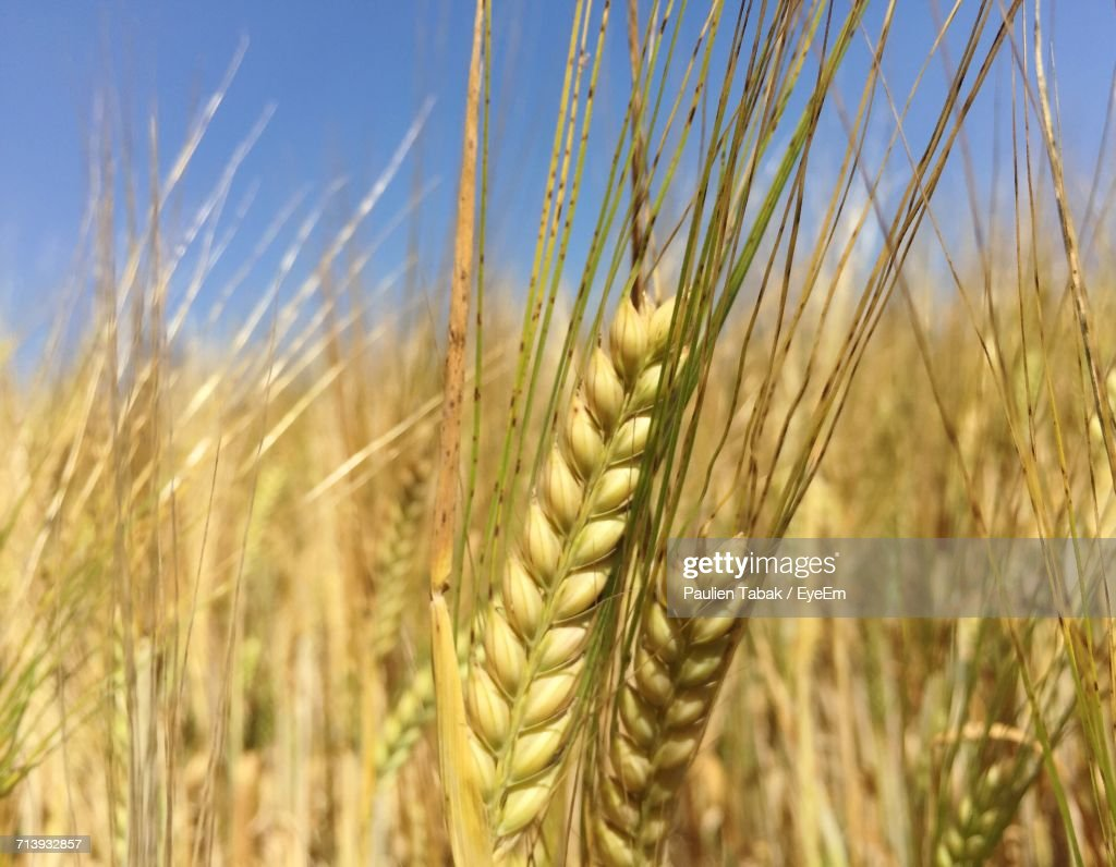 Close-Up Of Wheat Growing In Field : Stockfoto